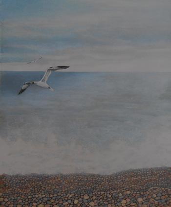 Gannet. Chesil